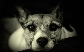 нос, собака, взгляд, друг