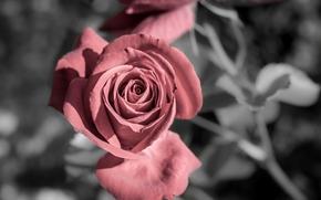 pink rose, Widescreen, Flowers, Widescreen, Shanker, fullscreen, background, flower, wallpaper, rose, floret