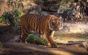 grama, atenção, piso, tour, ver, gato, água, animais, cachoeira, verduras, explosões, tigre, spray