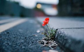 poppy, city, flower, street