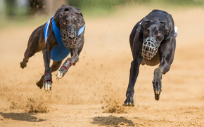бег, две собаки, намордники