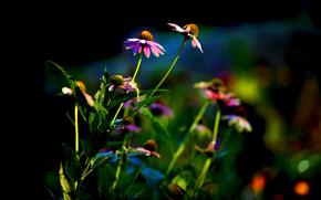 Fiori, sfondo, aiuola, Echinacea, fogliame