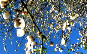 весна, цветы, яблоня