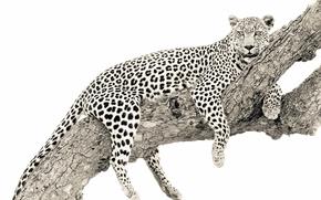 fond, arbre, leopard