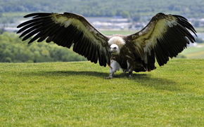 Plumage, GREEN, bird, wings, predator, grass, SPAN, background