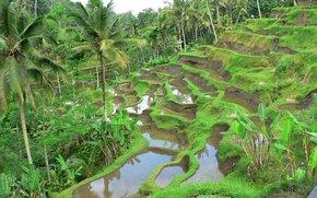 Risaie a terrazze, campi di riso, Palme, paesaggio