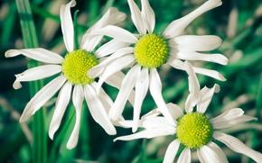 fondo, Widescreen, blanco, flores, Manzanilla, Pétalos, Flores, Widescreen, Verde, fullscreen, papel pintado