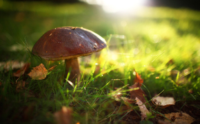 summer, sun, glade, mushroom, grass, in the forest, leaves, glare, light