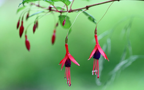 branch, foliage, pink, fuchsia, Flowers