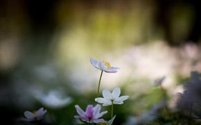 bokeh, Blanco, flores, Flores