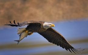 mining, wings, bird, FISH, catch, predator, flight, Bald Eagle