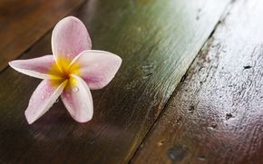Fiori, fullscreen, Plumeria, frangipani, viola, fiorellino, carta da parati, Widescreen, Widescreen, sfondo
