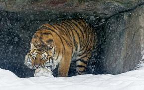 мяч, тигр, игра, хищник, снег, кошка, амурский тигр