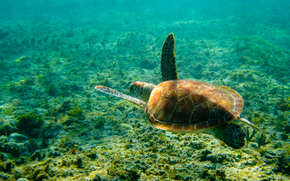 tortugas marinas, mar, fondo