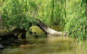 fiume, alberi, FILIALE, Anatra, natura