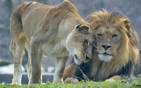 leonessa, amare, Lions, leone