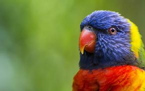 попугай, птица, размытость, перья, многоцветный лорикет, зелень, окрас, клюв, голова, разноцветный