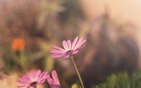 обои, размытие, фон, цветы, цветочки, цветок, цветочек, розовый, широкоэкранные, широкоформатные, полноэкранные