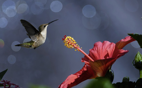 гибискус, цветок, птичка, птицы, боке, природа, колибри