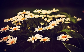 цветочки, ромашки, полноэкранные, фон, широкоформатные, белый, ромашка, цветы, широкоэкранные, желтый, обои, цветочек, листья