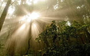 alberi, nebbia, natura, Raggi, foresta, estate, foto, cespuglio, mattinata