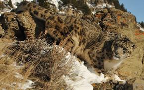 nature, léopard des neiges, once, noyaux, cat, neige