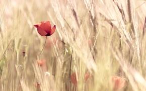 rosso, spighe di grano, Widescreen, Fiori, papavero, grano, carta da parati, natura, fiorellino, fullscreen, Widescreen, campo, fiori, sfondo