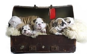 малыши, щенки, чемодан, Английский бульдог, собаки