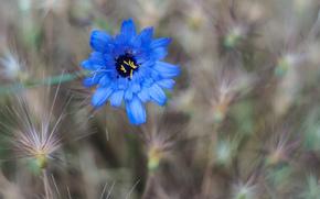 field, flower, grass, blue, knapweed, Flowers