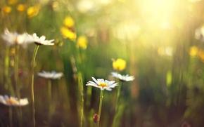 полноэкранные, фон, широкоэкранные, обои, цветы, ромашка, цветочки, день, широкоформатные, размытие, солнце, цветок