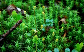 moss, plants, Macro
