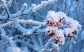 bush, winter, berries in the snow, Macro