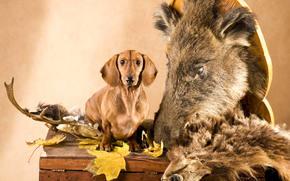 голова, такса, рога, листья, кабан, сундук, охотник, шкура, собака