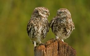 Hiboux, Hiboux, poussins, oiseaux