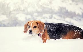 зима, природа, снег, собака, взгляд