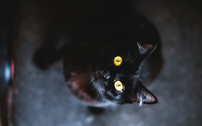 occhi, nero, lana, COTE, giallo, animale