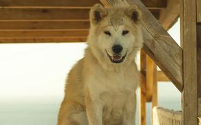 самоед, Санторини, улыбка, друг, собака