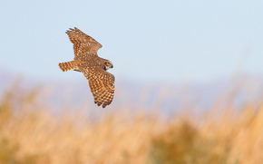 bird, flight, wings, owl, SPAN