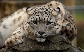view, ounce, recreation, predator, snow leopard, Snout