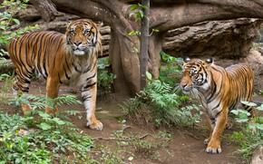 кошка, тигр, суматранский, пара, трава