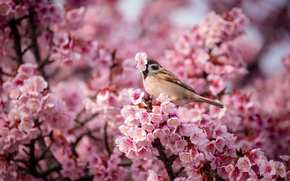 cherry, nature, bird, SPRING, pink, Flowers, sparrow