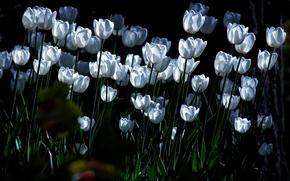 белые, тюльпаны, освещение