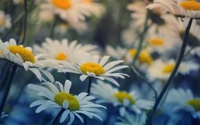 широкоэкранные, обои, широкоформатные, фон, полноэкранные, цветочки, цветы, ромашки