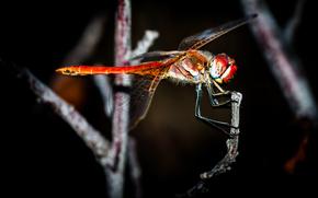 insetto, FILIALE, libellula, sfondo