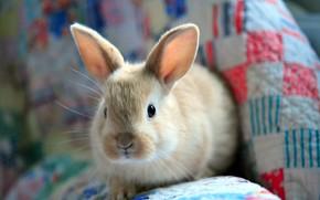 пушистый, кролик, заяц