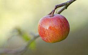 Fruit, background, branch, apple