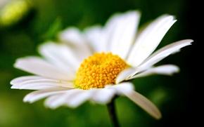 широкоэкранные, макро, фон, полноэкранные, ромашка, цветы, обои, размытие, лепестки, широкоформатные, цветочки