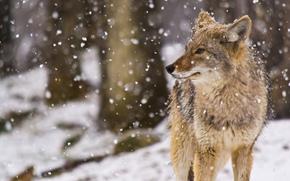 nevicata, coyote (prateria lupo)