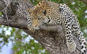 predator, leopard, tree, wildcat