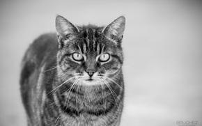 muzzle, COTE, cat, black and white, mustache